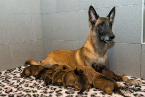 Pups Noah-Linck 2 weken oud
