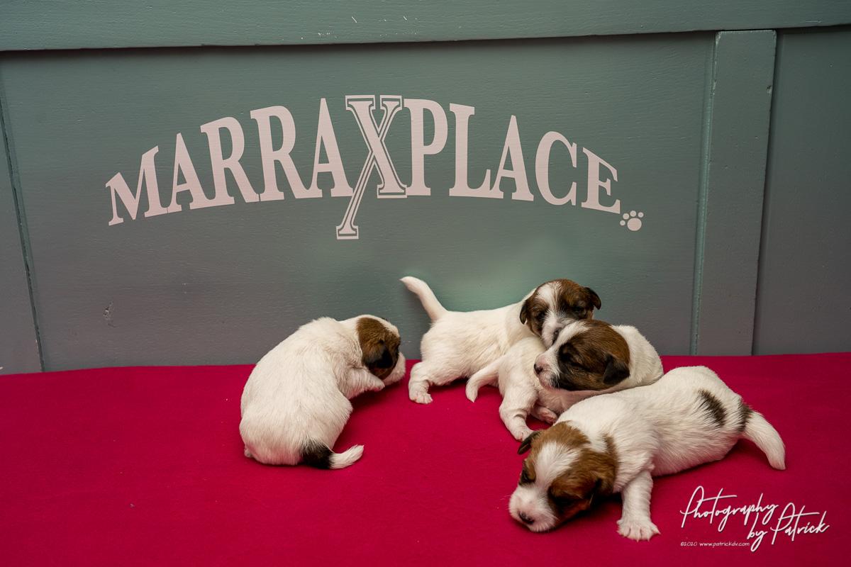 Pups Zara -Gino 2 weken, oogjes en oortjes open