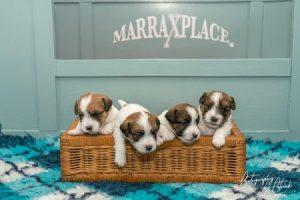 Pups Zara- Gino 3 weken