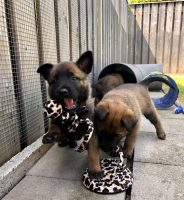De pups van Nyka 5 weken