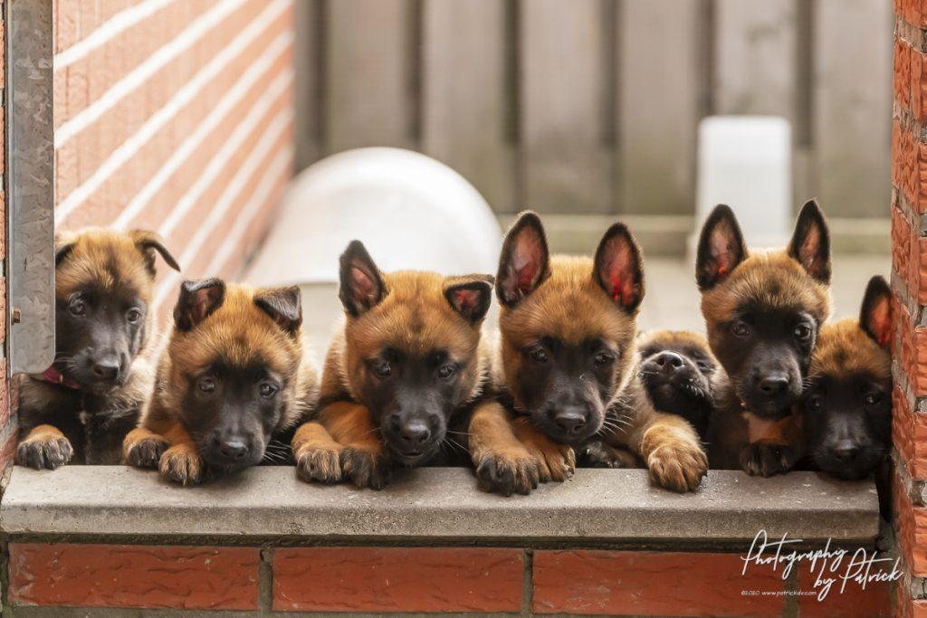 Pups Pepper en Brixx 6 weken oud