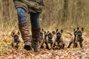 Pups van Pari & Brixx, 6 weken oud en eerste boswandeling