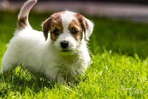 Pups Maggie en Gino, 6 weken oud