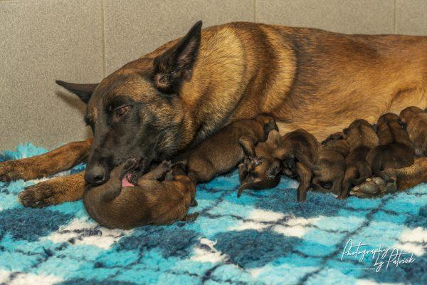Pups Pari- Brixx 1 dag oud