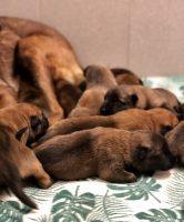 De pups 11 dagen oud