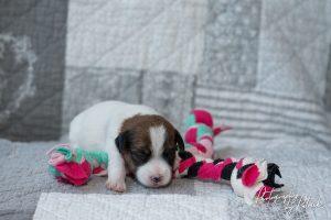 Pups Zara & Gino 10 dagen oud