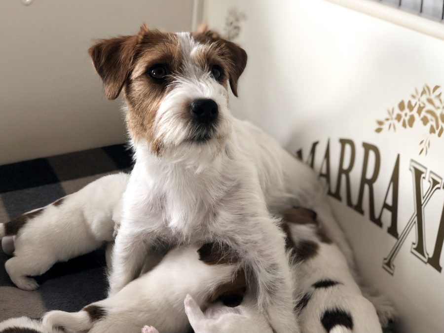 Pups Quest en Gino, 21 dagen oud
