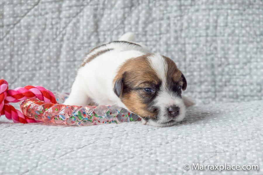 Pups Quest en Gino, 14 dagen oud
