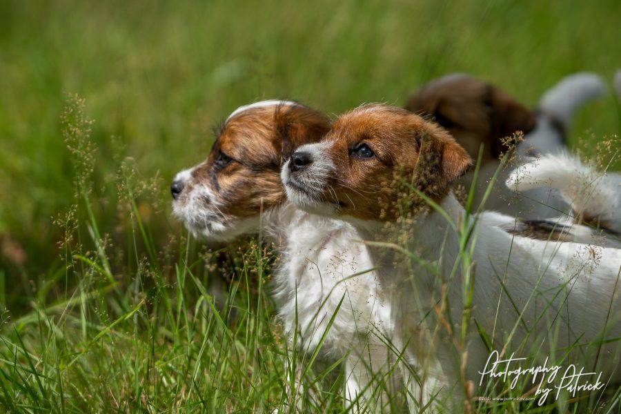 De pups van Quest en Gino, 7 weken oud en op avontuur in het bos