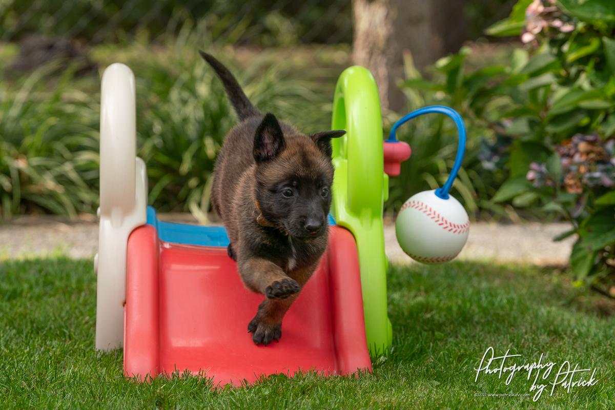 De pups van Nyka en Brixx 5 weken oud, speelplein in de tuin
